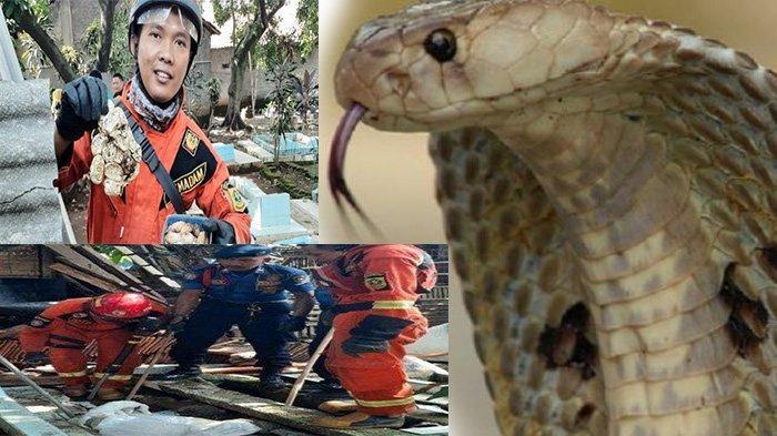 VIDEO Penemuan Sarang Ular Kobra di Makam, 20 Anak Ular Baru Menetas, Cari Makan Masuk Rumah