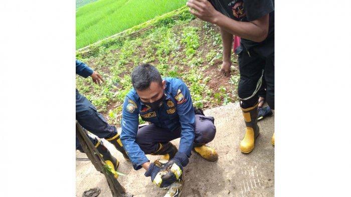 Ular Piton 2,5 Meter Menggantung di Pohon Jambu di Tanjung Sari, Petugas Damkar Langsung Evakuasi