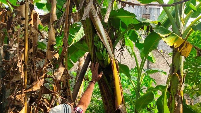 Berada di Pemakaman, Buah Pisang Tumbuh di Tengah Batang Pohon, Warga Sebut Hal Mistis Ini