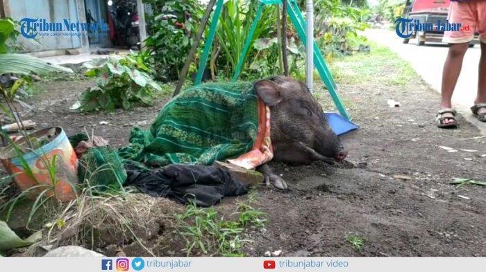 Heboh Temuan Babi Hutan di Pangandaran, Warga Lihat Keanehan di Bagong Itu, Langsung Berpikir Mistis