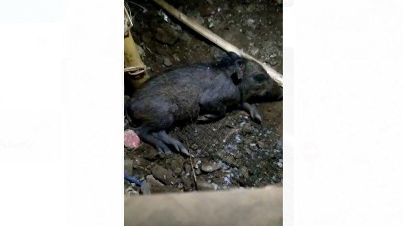 babi-jadi-jadian-di-depok.jpg