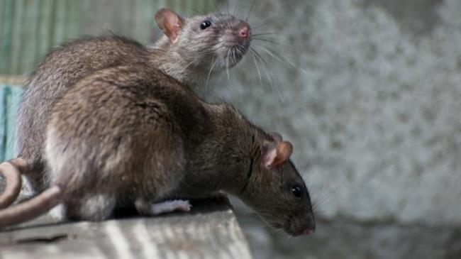 dua-ekor-tikus_20160501_133212.jpg