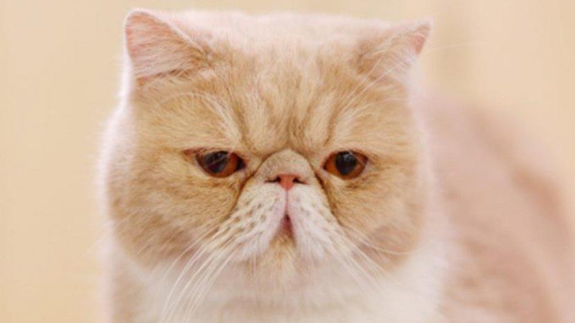 Sebelum Putuskan Pelihara Kucing Persia Exotic Shorthair Yuk Ketahui Dulu Karakter Dan Perawatannya Tribun Jabar