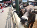 135-ekor-hewan-kurban-disembelih-di-desa-bodelor-kabupaten-cirebon.jpg