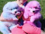 anjing-berwarna-pink-dan-biru_20170628_163104.jpg