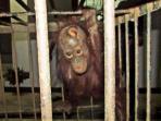 bayi-orangutan-luka-di-kepala_20160218_082840.jpg