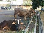 beberapa-ekor-sapi-di-pusdai-jabar.jpg