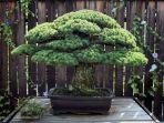 bonsai_hiroshima_20161231_071629.jpg