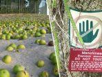 buah-dari-pohon-manchianeel-yang-mirip-dengan-apel-namun-mematikan_20180725_081134.jpg