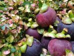 buah-manggis-asal-wanayasa-purwakarta.jpg
