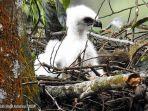burung-garuda-putih-di-taman-nasional-gunung-gede-pangrango-tnggp.jpg