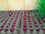 cara-menanam-bawang-merah-pakai-wadah-telur.jpg