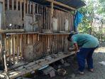 dalam-semalam-150-ekor-ayam-di-tiga-kampung-hilang-dicuri.jpg