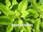 daun-beluntas_20160405_084337.jpg