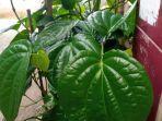 daun-sirih-hijau-tanaman-herbal.jpg