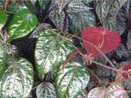 daun-sirih-merah.jpg
