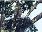 elang-jawa-alias-burung-garuda-di-taman-nasional-gunung-gede-pangrango.jpg
