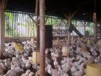 harga-telur-ayam-dan-ayam-ras-terus-naik.jpg