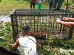 harimau-sumatera-tertangkap-di-padang-pariaman.jpg