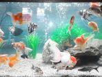 ikan-hias-yang-terdapat-di-toko-gampang-ingat-aquarium_20170814_101538.jpg