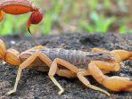 indian-red-scorpion-kalajengking_20180503_182845.jpg