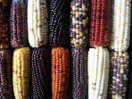 jagung-warna.jpg