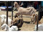 kambing-dan-domba-yang-dijual-di-pasar-hewan-tanjungsari_20170822_134736.jpg