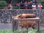 kandang-harimau-banyak-dikunjungi-orang_20150503_153835.jpg