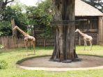 kemal-dan-tania-jerapah-asal-afrika-ini-siap-sambut-pengunjung-kebun-binatang-bandung.jpg