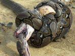 king-kobra-duel-melawan-piton-semua-mati.jpg