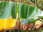 manfaat-daun-pisang-bagi-kesehatan-dan-kecantikan.jpg