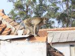 monyet-curug-cimahi-masuk-kampung.jpg
