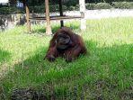 orangutan-di-kebun-binatang-bandung-beranama-ozon_20180307_143444.jpg
