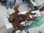 orangutan-dirawat.jpg