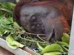 orangutan-yang-diselamatkan-iar-indonesia.jpg