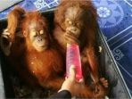 orangutan_20170623_173326.jpg