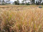 persawahan-di-desa-karangsari-kecamatan-pangatikan-kabupaten-garut_20180123_152804.jpg