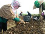 petambak-garam-yang-beralih-profesi-menjadi-petani-bawang.jpg