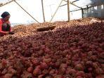 petani-bawang-merah-di-kampung-ciharashas-kabupaten-garut_20180223_110143.jpg