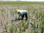 petani-di-sawah-kabupaten-cirebon_20180806_163323.jpg