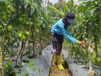 petani-lembang-petik-tomat.jpg