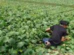 petani-sedang-membabat-tanaman-sayuran-sawi-yang-tak-laku-dijual.jpg