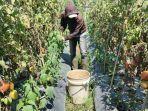 petani-tomat-sedang-memanen-di-lembang.jpg