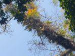pohon-dangdeur-yang-menjadi-lokasi-tumbuhnya-pohon-pisang.jpg