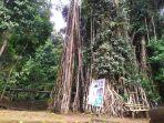 pohon-karet-munding-berumur-ratusan-tahun.jpg