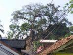 pohon-kiara-yang-bisa-tumbuh-subur-meskipun-keadaan-saat-musim-kemarau.jpg