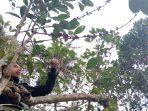 pohon-kopi-di-stm-pertanian-sumedang-tanjungsari.jpg