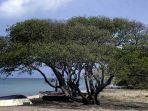 pohon-manchineel_20180724_212941.jpg