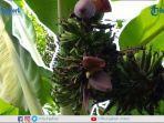 pohon-pisang-bertandan-2-dan-berjantung-3_.jpg