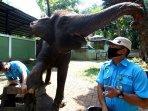 potong-kuku-gajah-di-bandung-zoo-2.jpg